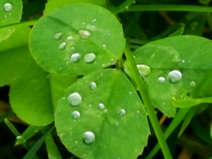 Raindrops Waterdrops Nature Macro Cloverleaf Raindrops On Clovers Clovers  Green Green Color Fine Art Fine Art Photography Color Palette