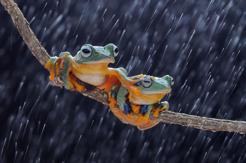 flying frog, frogs, tree frog, Macro Photography Tree Frog Amphibian Animal Animal Themes Animals Close-up Flying Frog Macro No People