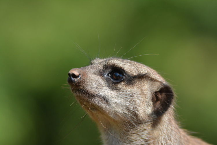 Meerkat Animal Animal Body Part Animal Eye Animal Head  Animal Themes Animal Wildlife Animals In The Wild Close-up Day Focus On Foreground Green Color Looking Looking Away Mammal Nature No People One Animal Portrait Profile View Vertebrate