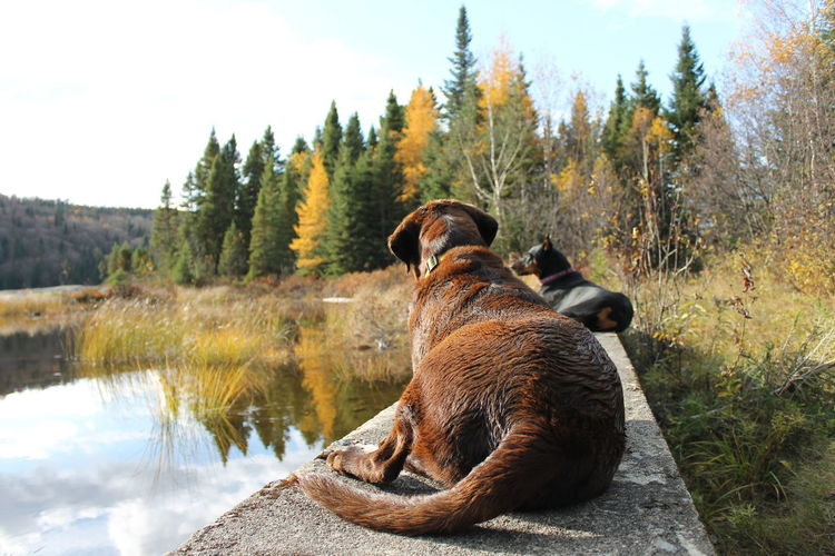 Animal Themes Beauty In Nature Day Dogslife Domestic Animals Labrador Retriever Lakeview Mammal Nature No People One Animal Outdoors Quebec, Canada Scenics Sky Tree Water EyeEmNewHere The Great Outdoors - 2017 EyeEm Awards Pet Portraits