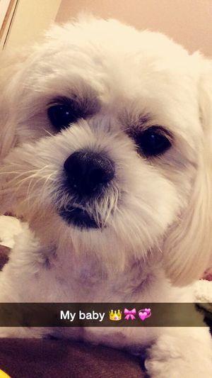 Babygirl 💛💙💜💚❤️ Chillin' Hi! Bella Puppy Fellow My Snapchat Florida 🐾🐾🐾👑🎀💙❤️