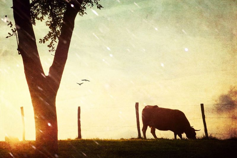 Animal Themes Mammal Tree One Animal No People Sunset Nature Outdoors Sky Domestic Animals Beauty In Nature Animals In The Wild Day Nature Landscape Travel Beauty In Nature Animals Sunset Sun Summer Cow Silhouette Light And Shadow Country