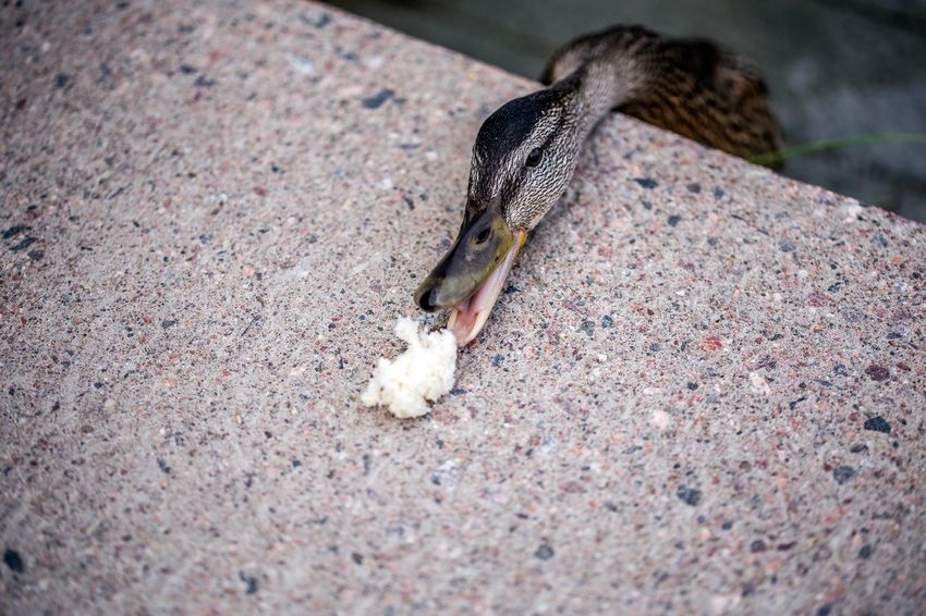 City Eating Bird Bread Close-up Day Duck Female Duck Food No People One Animal Outdoors Tame