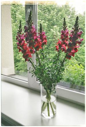 Antirrhinum Majus Antirrino Becerra Boca De Dragón Dragon Flowers Estonia Flores Flower Freshness Glass - Material Indoors  Plant Snapdragon Snapdragons Vase Window