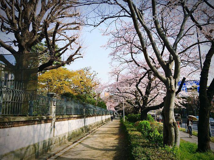 英国大使館 一番町 半蔵門 桜 Tokyo