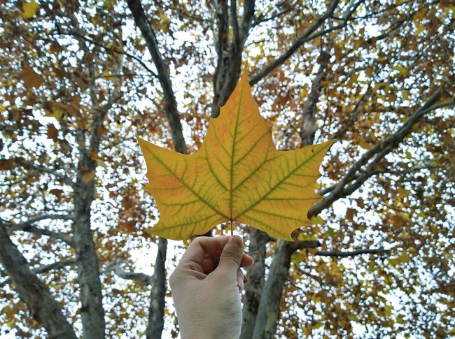 Human Hand Tree Autumn Change Leaf Human Body Part Holding Nature One Person Day Maple Leaf Outdoors Real People Close-up Leisure Activity Low Angle View Branch Beauty In Nature Sky Maple