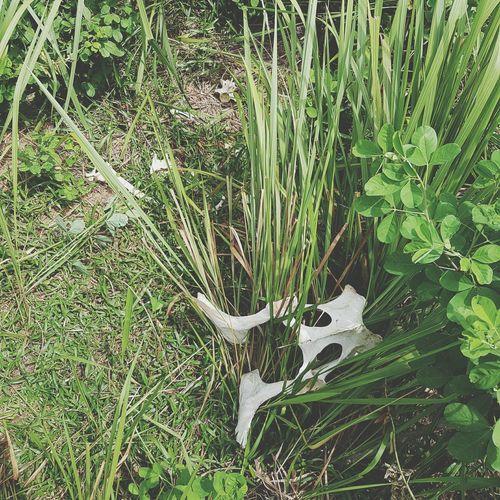 Dead Cow CowBones Landsurveying Surveyorjob Malaysian S7edgephotography Field