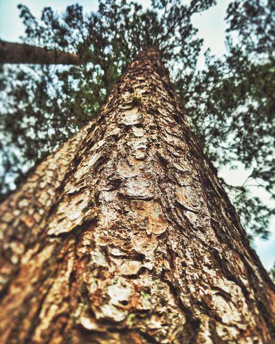 Tree Tree Trunk Textured  Plant Bark Outdoors Growth Day Woodpecker Knotted Wood Beauty In Nature Wood - Material Close-up Brown Low Angle View Rough No People Bark Nature Sky USA Tranquility Goodshot Florida Earth Street