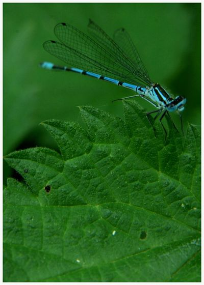 Dragonflies blue Green Color No People Insect Nature Outdoors Day Kirriemuir Countryside Leaf Vein Close-up Fragile