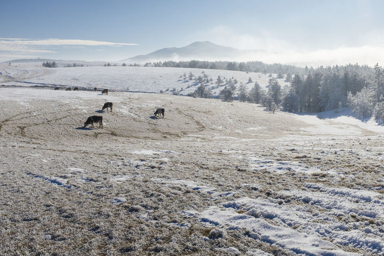 Mammals Grazing On Landscape Against Sky During Winter