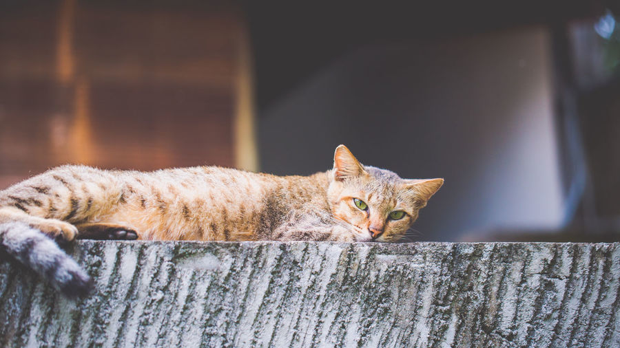 Lazing Cat on a wall. Alertness Animal Body Part Animal Head  Cat Close-up Day Feline Focus On Foreground Mammal No People Outdoors Part Of Portrait Selective Focus Whisker Wood - Material Wooden