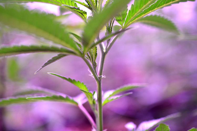 marijuana Marijuana Marijuana - Herbal Cannabis Marijuana Joint Plant Factory Produce Potted Plant Herbal Medicine Joint