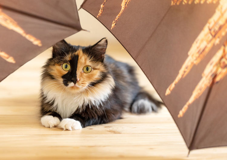 Young three-color cat is lying among brown umbrellas on wooden floor and looking at camera.