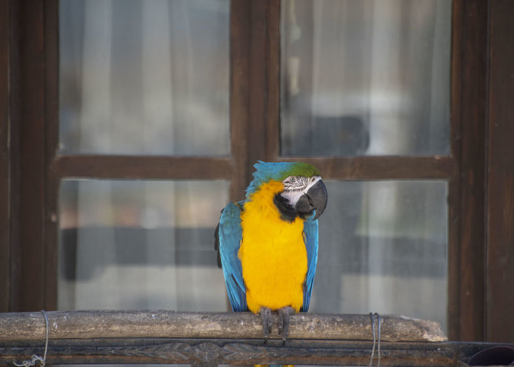 Animal Themes Vertebrate Animal One Animal Bird Animal Wildlife Animals In The Wild Parrot Perching No People Macaw Day Focus On Foreground Window Outdoors Yellow Gold And Blue Macaw Parakeet Animals In Captivity