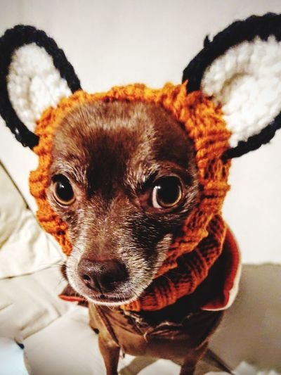 he has big ears, that get very cold....#colddays #reproachfullook #pets #browndog #cutecreature Pets Portrait Dog Looking At Camera Close-up Pet Clothing