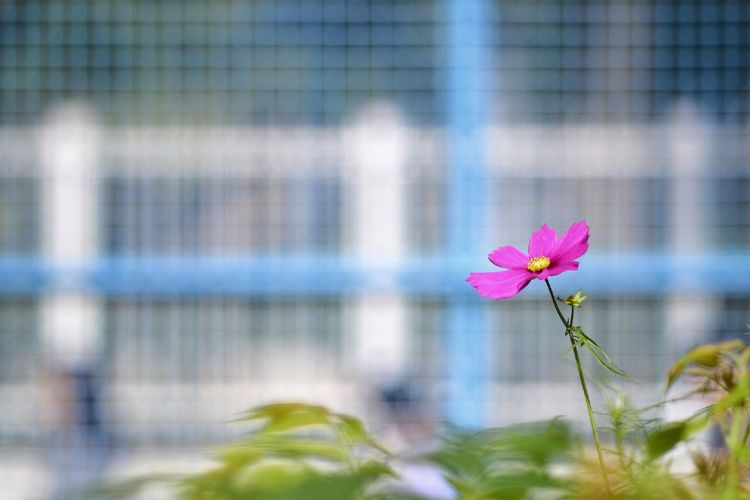 EyeEm Best Shots EyeEm Nature Lover EyeEm Gallery Eyeem4photography Beauty In Nature Flower Head Flower City Pink Color Cityscape Beauty Close-up Plant Architecture Cosmos Flower Flowering Plant Blooming Blossom Pollen