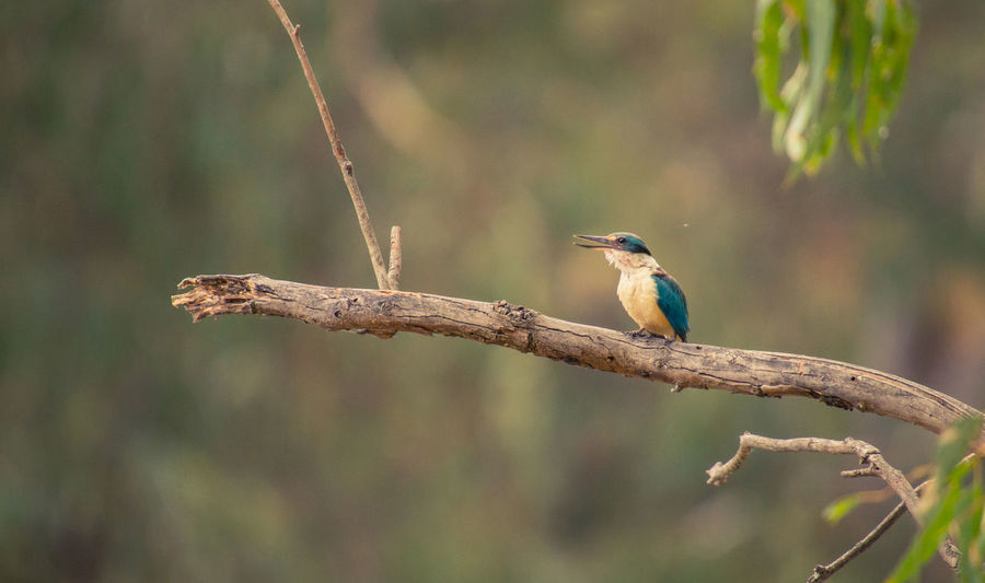Sacred Kingfisher - Todiramphus sanctus 500mm Animal Themes Animal Wildlife Animals In The Wild Beautiful Feathers Beauty In Nature Bird Kingfisher Nature One Animal Outdoors Perching Sacred Kingfisher Sigma Lenses Sony Photography Todiramphus Sanctus