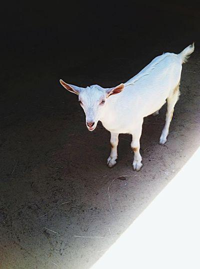 Goat Life Goatfarm Baby Goats Serenitygoats Goat Farm Life Serenitygoats Blackandwhite Tiny Black And White Tiny World Lovable