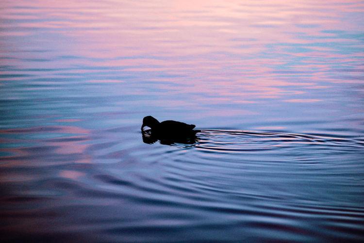 Silhouette of animal swimming in lake