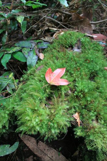 Red Maple Rain Forest Mapleleaf Moss