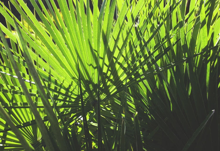 Beauty In Nature Botany Branch Close-up Dramatic Angles Frond Green Green Color Growing Growth Leaf Lush Foliage Nature Palm Leaf Plant Scenics TakeoverContrast Tropical Tree Vibrant Color