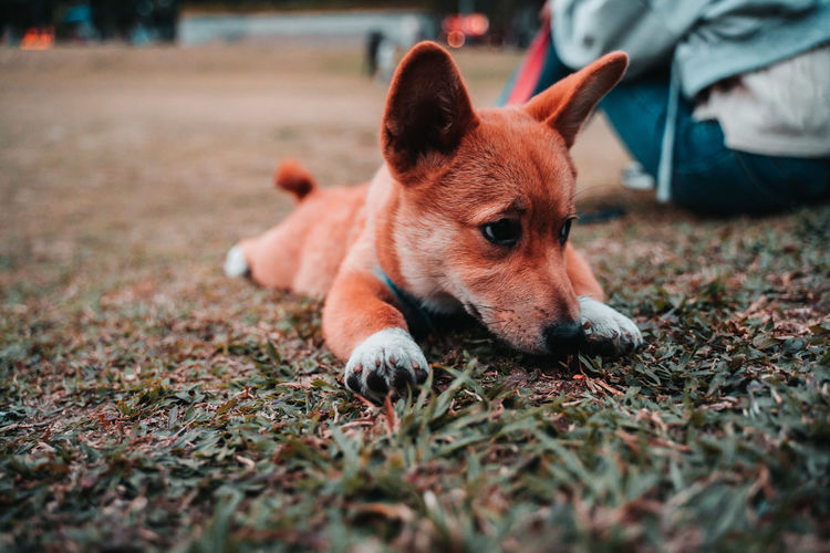 Close-up of dog relaxing on field