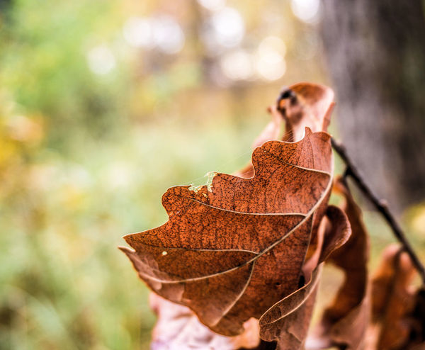 Brown leaf of an oak, withered, exempted from blurred background Autumn Background Beauty In Nature Blurry Brown Change Close-up Day Dry Focus On Foreground Fragility Leaf Maple Nature Oak One Person Outdoors People Tree Withered