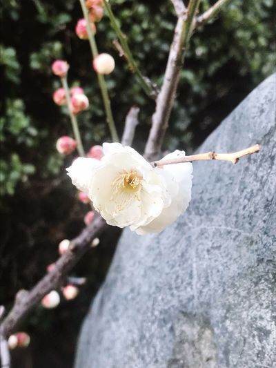 Flower Fragility White Color Petal Growth Nature Close-up Springtime Tree Blooming No People Outdoors Branch Day Botany Focus On Foreground Blossom Freshness Beauty In Nature Flower Head