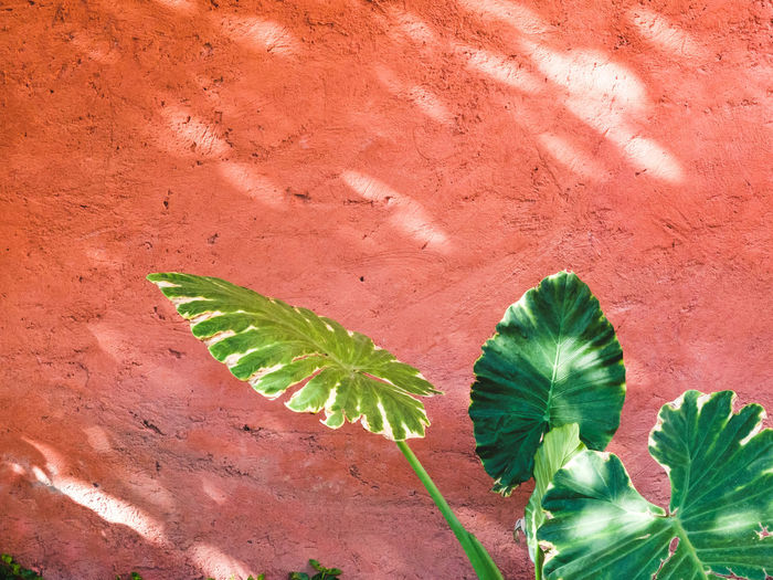Close-up of elephant ear plant in front of red wall