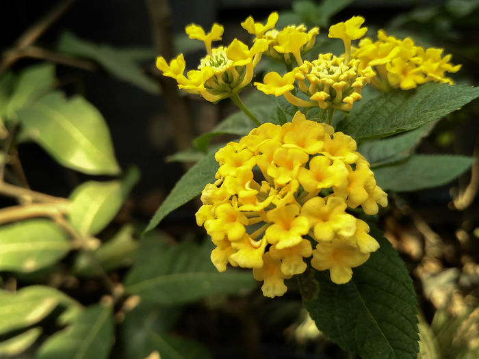 Yellow Flowering Plant Flower Plant Beauty In Nature Freshness Vulnerability