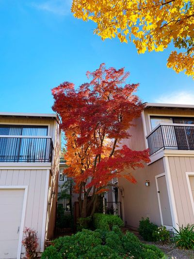 """Color Separation"" A beautiful red maple tree separates two suburban homes in the San Francisco East Bay Area, California, with a golden color guard overhead in the Fall Of 2018. Suburban Exploration Red Maple Maple Blue Sky Fall Autumn Autumn colors Fall Colors Architecture Built Structure Building Exterior Building Sky Nature Tree Residential District"