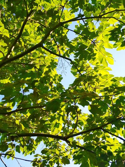 Tree Branch Leaf Fruit Full Frame Backgrounds Sunlight Sky Green Color In Bloom Leaves Blooming Botany Plant Life Relaxed Moments Woods Leaf Vein