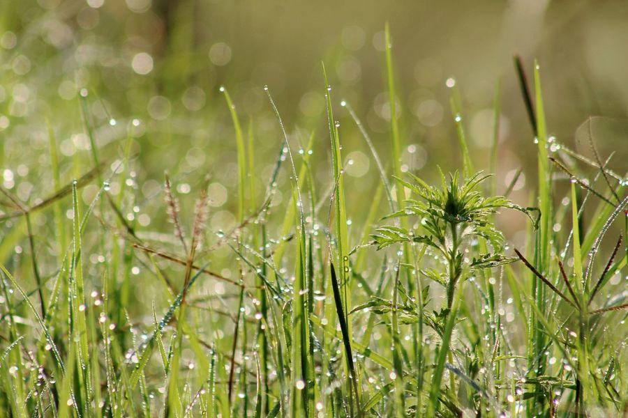 mountain dew Water Flower Springtime Defocused Summer Drop Wet Closing Uncultivated Wildflower Dew Blade Of Grass Plant Life RainDrop Focus Lush - Description