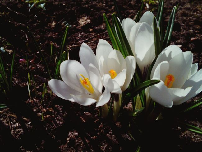 Crocus Spring Flowers Flowers, Nature And Beauty Garden Photography Blooming Colors Beautiful Nature Inspirational