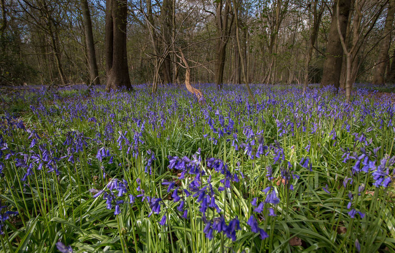 bluebell woods Beauty In Nature Blooming Blossom Blue Bluebell Bluebell Wood Bluebells Botany Day Field Flower Fragility Fresh On Eyeem  Freshness Green Color Growth In Bloom Nature Outdoors Petal Plant Purple Scenics Tranquil Scene Tranquility