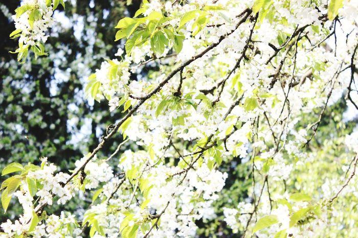 Tree Growth Nature Springtime Beauty In Nature Outdoors Freshness Kirschbaum Kirschbaumblüten Flower Head Blätterdach Natur Green Color Flower Beauty In Nature Blätterpracht Naturelove