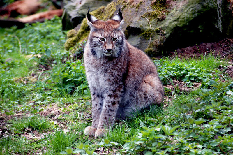 Dangerous Animals Endangered Species Sitting Animal Wildlife Animals In The Wild Day Field Full Length Grass Green Color Land Large Cat Looking At Camera Lynx Mammal Nature No People One Animal Outdoors Plant Portrait Rare Animal Vertebrate Wild Cat