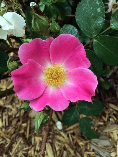 Pink Flower Spring Flowers EyeEm Natue Lover Flowers