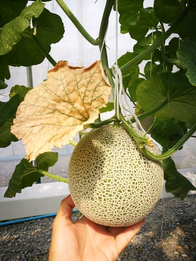 ready to pick melon Autumm Fruits Growth Process Grow Melon Fruit Melon Kimoji Melon Ready To Pick Fresh Fruit Human Hand Leaf Tree Holding Autumn Personal Perspective Close-up