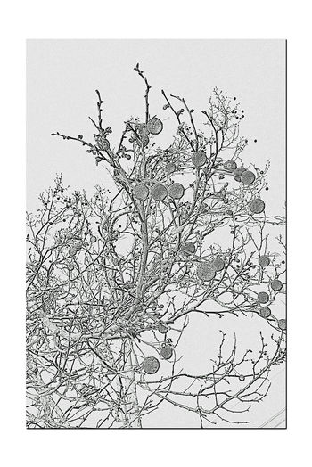 Sycamore Tree Branches & Fruit 3 Edens Landing Hayward, Ca. Platanus Racemosa California Sycamore Shade Tree Landscape Trees Fruit Balls With Seeds Spherical Fruit Clusters One Of Earth's Oldest Trees Fast Growing With Long Lifespan Colorful Bark Pencil Sketch  Abstract Black And White Blackandwhite Photography Black And White Collection
