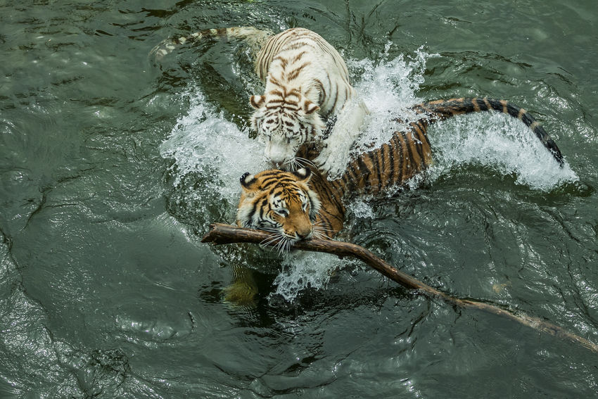 feline BeNGaL TiGeR Bengal Panthera Tigris Tigris Tigers Animal Animal Themes Animal Wildlife Bengal Tigers Feline Lake Motion Nature No People One Animal Outdoors Playing Swimming Tiger Tigre Tigre De Bengala Water