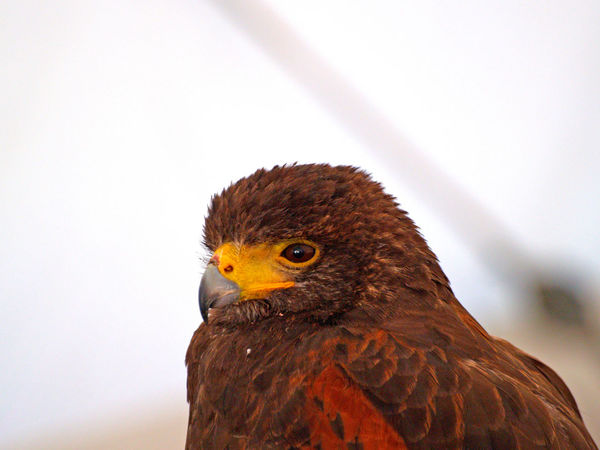 Alert Animal Portrait Animal Themes Animals Bird Bird Of Prey Close-up Day Falco Falcon Falconer Falconry Falconry Display Falcons Harris Hawk  Hat Hawk Hawks Hood No People One Animal Outdoors Parabuteo Parabuteo Unicinctus Portrait