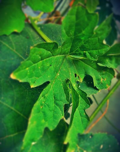 Leaf Leaf Vein Green Color Close-up Nature Full Frame No People Beauty In Nature Backgrounds Freshness Outdoors Plant Growth Day Roadsidephotography Object Photography 🇮🇳 India Mobilephotography