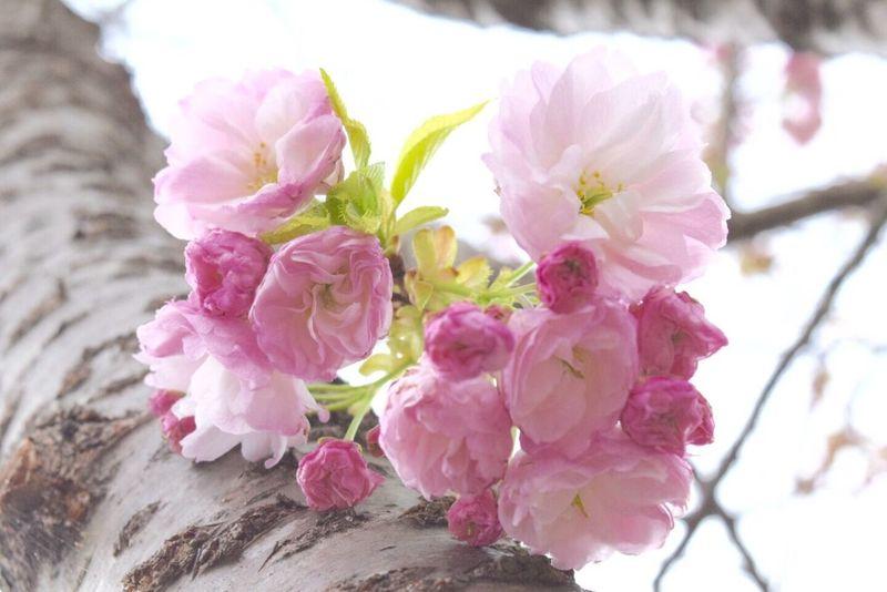 桜 春 笑顔 キミに届け 希望 Cherry Spring Flowers With You Love Happiness Natural Beauty