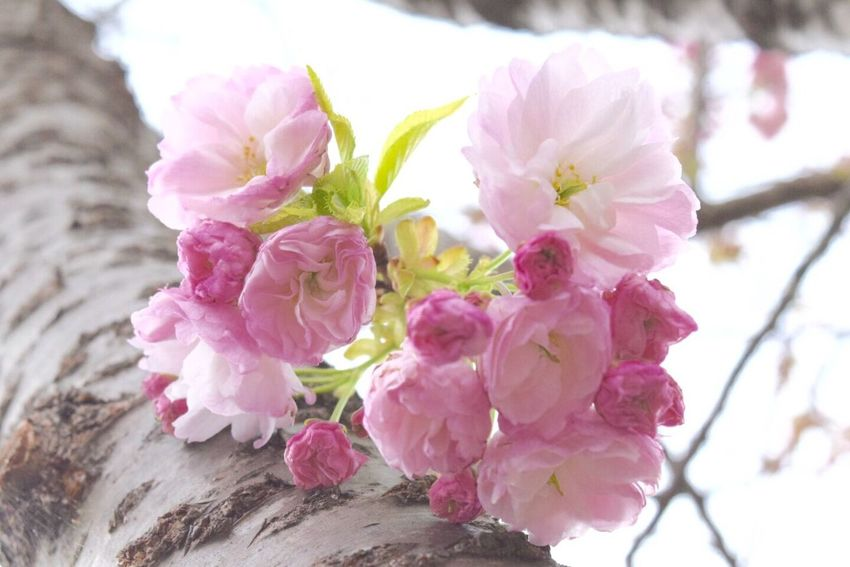 桜 春 笑顔 キミに届け 希望 Cherry Spring Flowers With You Love Happiness Natural Beauty