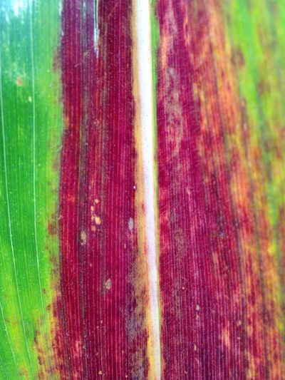 Design Lines Parallel Vertical Texture Natural Corn Macro Detail Multi Colored No People Backgrounds Close-up Red Full Frame Pattern Textured  Day Green Color Vibrant Color Abstract Plant Outdoors Nature