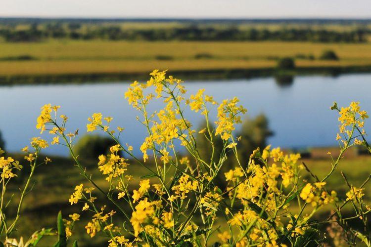 Flower Head Flower Water Rural Scene Yellow Oilseed Rape Springtime Uncultivated Field Sky