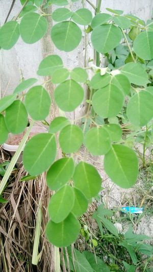 Moringa Leaves HealtyFood Healthy Eating Miracle Of Nature Getty Images Taking Photos Healthy Food Green Green Leaves