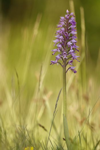 Orchis militaris Beauty In Nature Close-up Day Field Flower Flower Head Flowering Plant Focus On Foreground Fragility Freshness Growth Inflorescence Land Nature No People Outdoors Petal Plant Plant Stem Purple Selective Focus Vulnerability