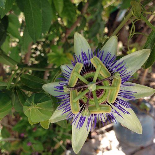 Passiflora Maracujá Paixão De Cristo Nature Photography Nature Nature_collection Enjoying Life Beautiful Nature